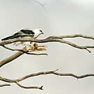 Black Shouldered Kite with Meal by mncphotography