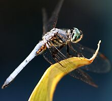 Blue Dasher Dragonfly Iphone Case by DARRIN ALDRIDGE