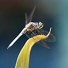 Dashing Blue Dasher Dragonfly by DARRIN ALDRIDGE