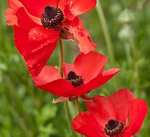 Flanders Poppies by Kath Gillies