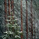 20.11.2015: Blizzard in the Forest by Petri Volanen