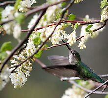 Anna's Hummingbird by May-Le Ng