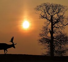 Fallow Deer by Steve Adams