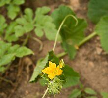 Melon Flower by Kuzeytac
