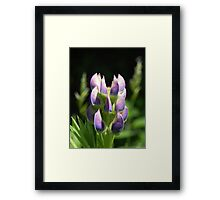Purple Lupin Framed Print