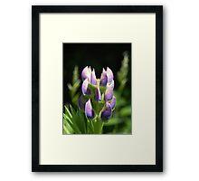 Purple Lupin Framed Print