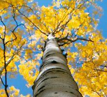 aspen in the fall by diamondphotogal