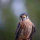 An American Kestral by Richard Lee
