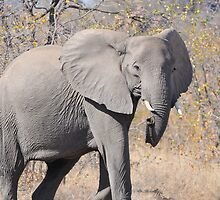 Elephant by jeff97