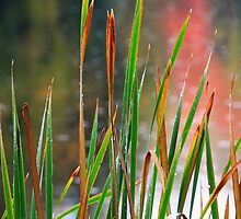 Reeds and Reflections by Nazareth