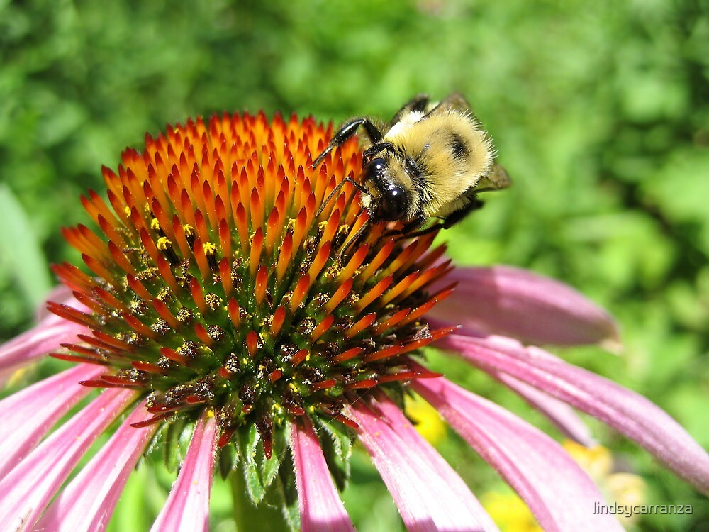 Bee on a Coneflower by lindsycarranza