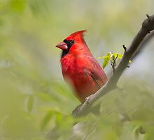 Male Northern Cardinal by michelsoucy