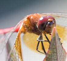 Dragonfly by michelsoucy