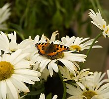 Red Admiral Butterfly by Imager