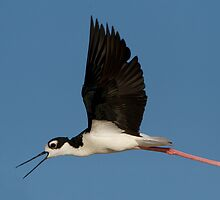 Splendid Stilt by Kent Keller