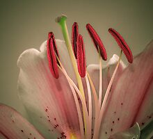 Lily by michelsoucy