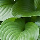 The Elegance of a Hosta Leaf by Sherry Hallemeier