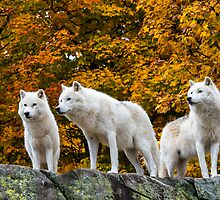 Wolves in Colour by Charles  Murray