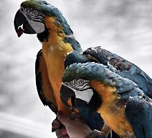 Parrots looking on... by rodstagraam