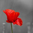 Red Poppy flower selective colouring by SteveHphotos