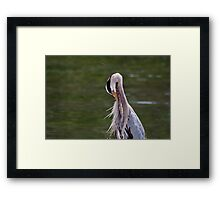 Great Blue Heron with an itch. Framed Print
