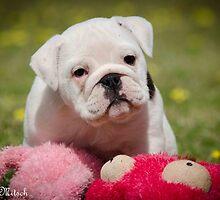 Baby Aussie Bulldog by Kat36