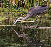 Reflection of a Great Blue Heron by michelsoucy