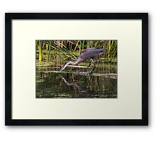 Reflection of a Great Blue Heron Framed Print