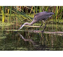 Reflection of a Great Blue Heron Photographic Print