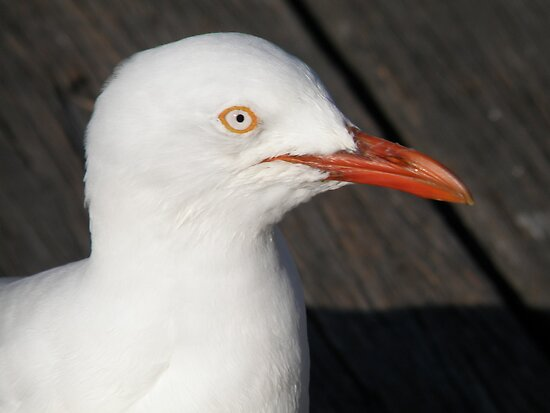 Portrait of a Gull by CapturedByKylie