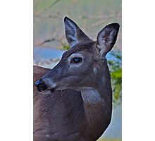 Molting Doe Photographic Print