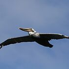 Brown Pelican in Flight by fototaker