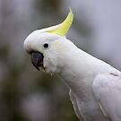 Who's a pretty boy Sulphur Crested Cockatoo by Kym Bradley