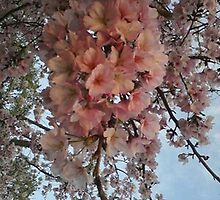 Cherry Blossoms 61 by KarenWeinberg