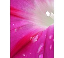 morning glory 3 Photographic Print