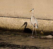 Shadow of a Great Blue Heron by michelsoucy