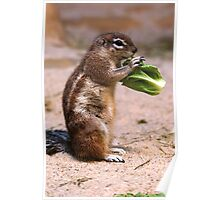 Cape Ground Squirrel Poster