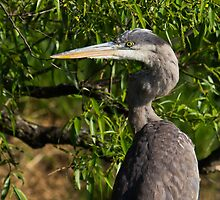 Great Blue Heron profile by michelsoucy