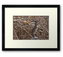 Great Blue Heron in the reeds Framed Print