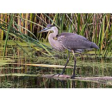 Great Blue Heron on a log Photographic Print