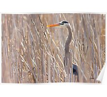 Great Blue Heron in the reeds Poster