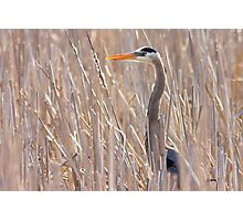 Great Blue Heron in the reeds Photographic Print