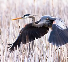 Great Blue Heron in flight by michelsoucy