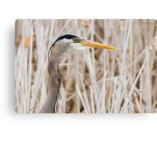 Great Blue Heron - head shot Canvas Print