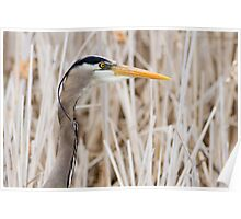 Great Blue Heron - head shot Poster