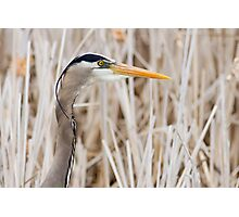 Great Blue Heron - head shot Photographic Print