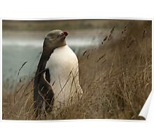 Yellow Eyed Penguin Poster