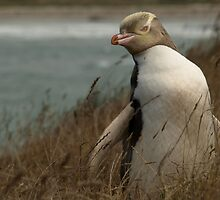 Yellow Eyed Penguin by joergilmaz