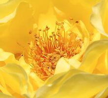 yellow rose by Jicha