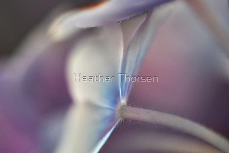 Hydrangea by Heather Thorsen